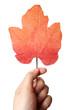 Leaf in a man hand.