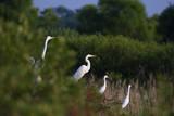 Great white egrets Egreta alba perching poster