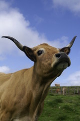aubrac vache 16072009