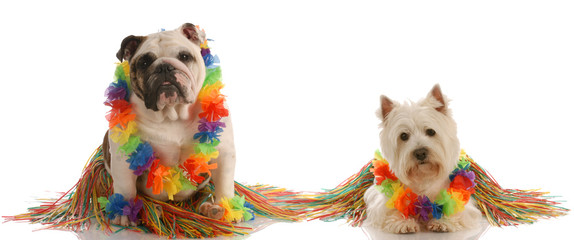 dancing dogs -  bulldog and west highland white terrier