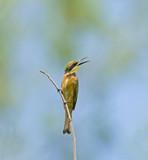 Little Bee-eater poster