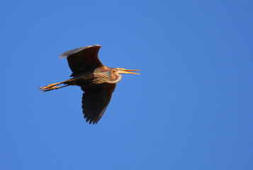 Red heron Ardea purpurea isolated on blue natural background