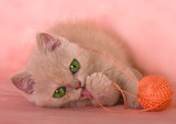 kitten fluffy plays with a ball threads poster
