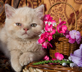 kitten fluffy lies next to the basket of flowers poster