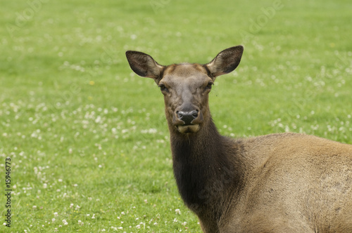 close-up of Cow Elk