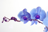 Fototapeta orchidee - kwiat - Kwiat