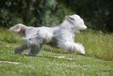 bílé Bearded kolie aktuální profil v trávě - krása