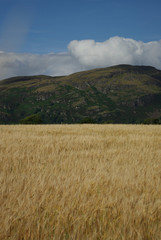 wheat field and mountains