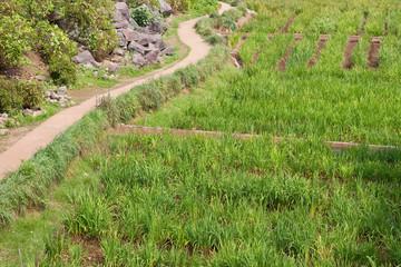 Japanese rice field