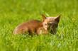chat de race burmese couché de profil au milieu de l'herbe