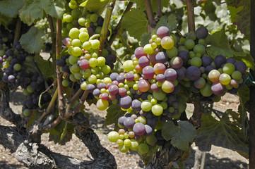 Wine Grapes Vineyard