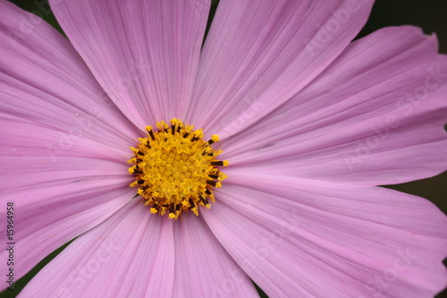 poster of pink cosmos