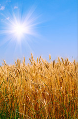 Golden wheat and beautiful blue sky.