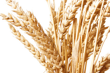 Golden wheat isolated on a white background.