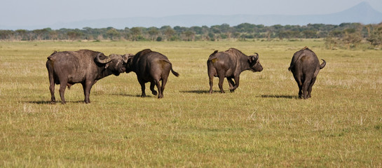 Buffalo Herd in Tanzania