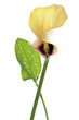 Yellow calla lily (zantedeschia aethiopica), close-up
