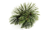 Piece of pine (Pinus), close-up