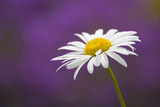 Single marguerite, Leucanthemum vulgare, close-up
