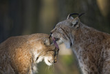Two lynxes in love, close-up