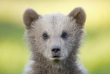 European Brown bear cub (Ursus arctos), close-up