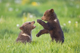 European Brown Bear Cubs Playing ((Ursus arctos), close-up