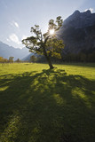 Austria, Tirol, Karwendel, Field maple tree
