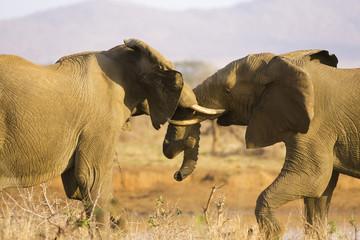 Südafrika, Krüger Nationalpark, Elefanten kämpfen