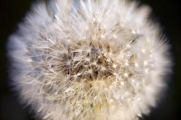 Dandelion blow-ball close up.