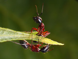 mirrored wrong, garden ants poster