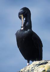 Black cormorant