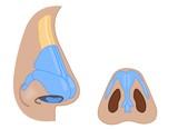 nose external anatomy poster