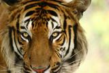 Fototapeta zwierzę - ssak - Dziki Ssak