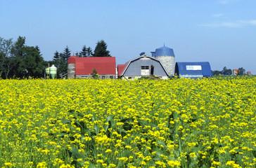 牧場と菜の花畑