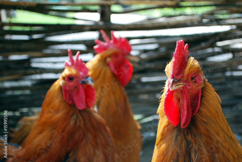 Three cocks in the poultry-yard
