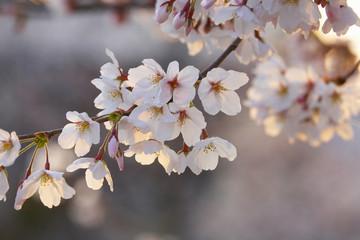 夕陽に照らされる桜