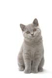 Fototapety jeune chaton british shorthair gris assis de face en studio