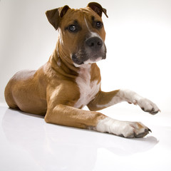 Hund kampfhund