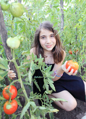 Ramasser des tomates fraîches.