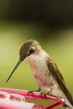 Hummingbird Beak poster