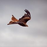 milan oiseau rapace plume vol rapide précis poster