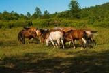 horse herd gazing poster