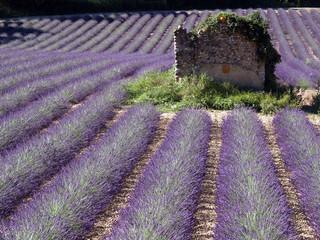 Ruine im Lavendelfeld
