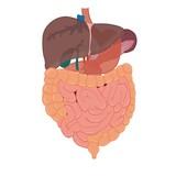 liver and intestines anatomy
