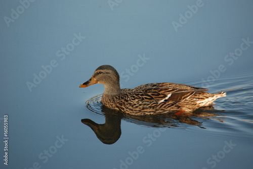 isolated duck