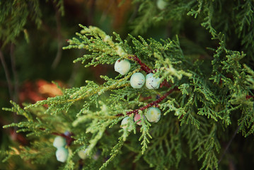 green pine berries