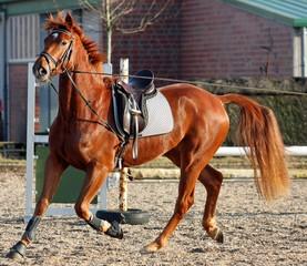 Pferd an Longe