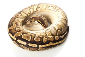 yellow belly ball python