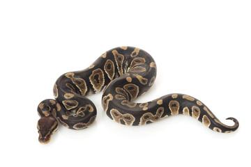 chocolate ball python