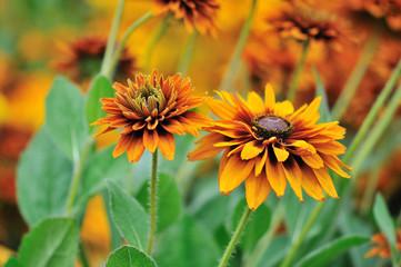 fall color, rudbeckia flowers