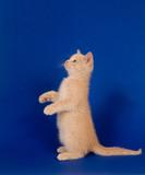 Yellow kitten begging on blue poster